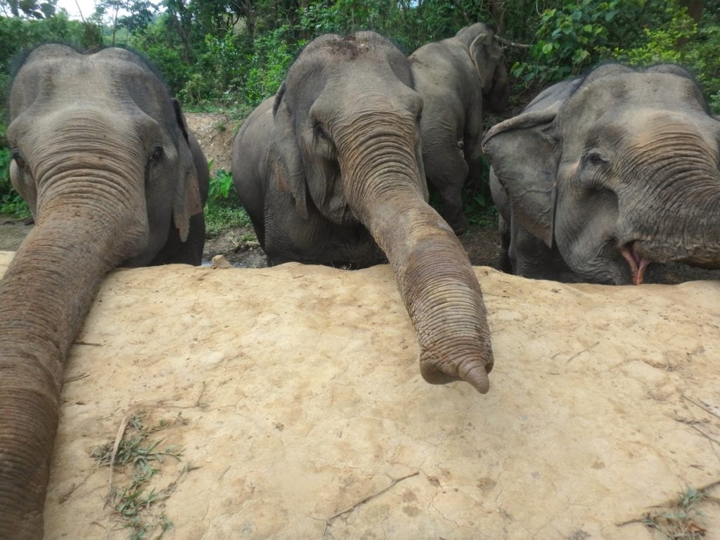 A hungry bunch of elephants at Mandalao Elephant Conservation
