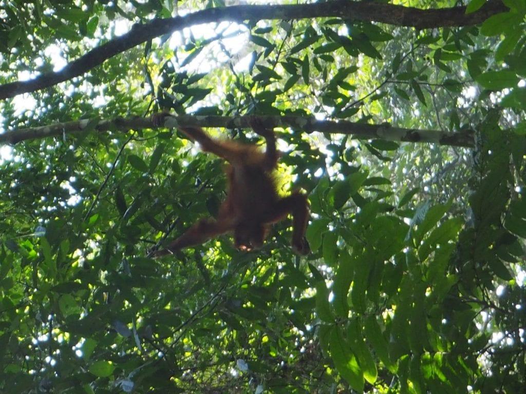 Orangutan hike in Ketambe